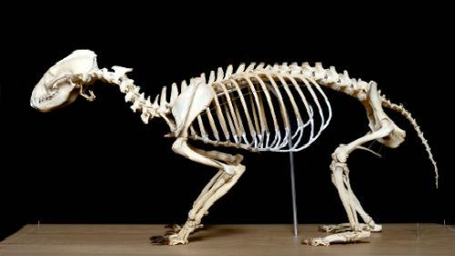 Proč nemá člověk kost v penisu? Záhada vědecky objasněná!