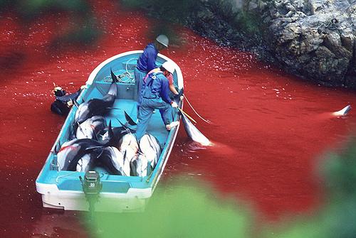 Japonci s lovem delfínů a velryb hned tak nepřestanou